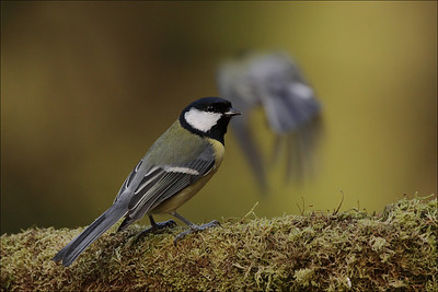 Kjøttmeis - Great Tit
