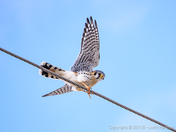 3/8/18 Kestrel High-Wire Act :)