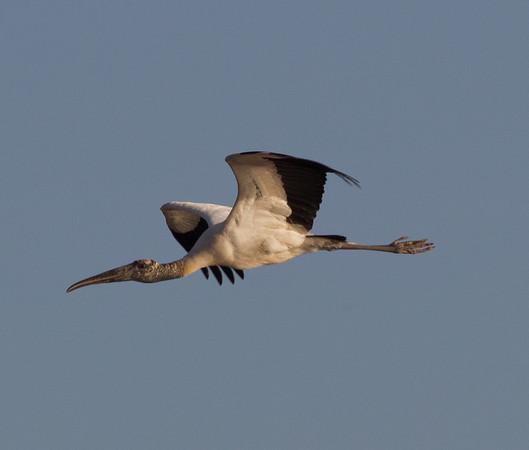Storks (Ciconiidae)
