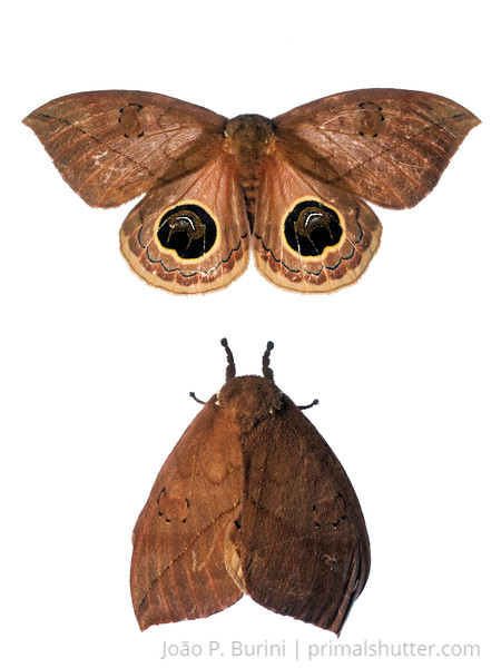 Automeris or Pseudoautomeris moth Tapiraí, São Paulo, Brazil Atlantic forest (rainforest strictu sensu) March 2017