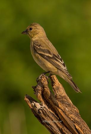Lesser Goldfinch TR_DWL6743.jpg