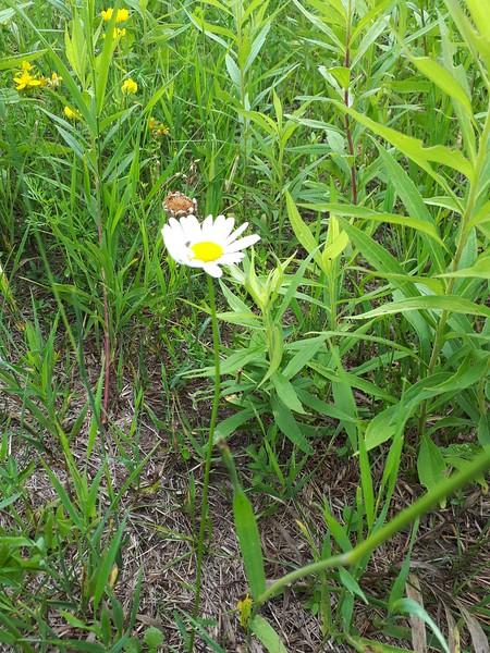 Oxeye Daisy , in Area 5 (Photo by Jennifer Jackman)
