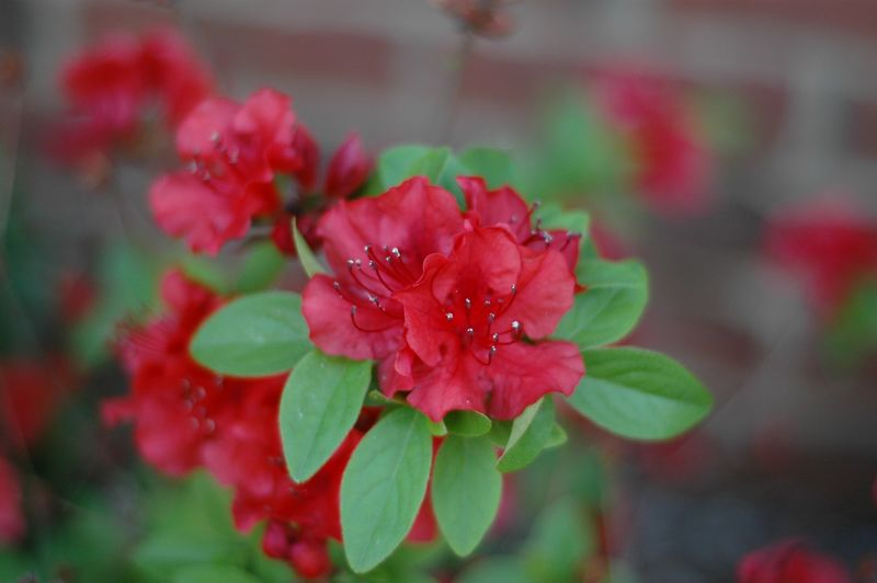 some of the other gorgeous azaleas....