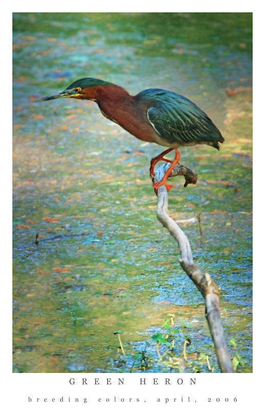 Little Green Herons: Swamp Living