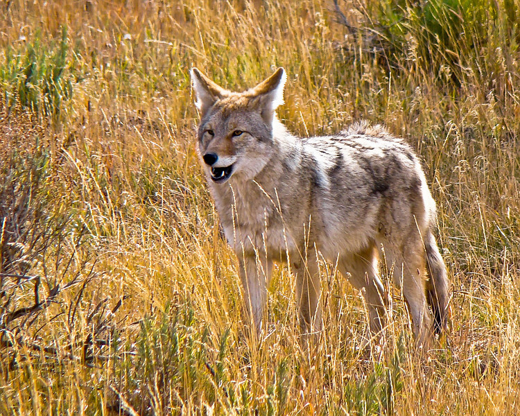Coyote, Indian Creek, Yellowstone 2.jpg