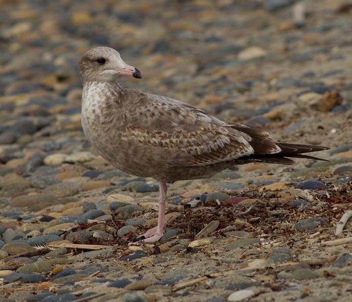 Herring Gull Carlsbad 2014 11 14-2.CR2