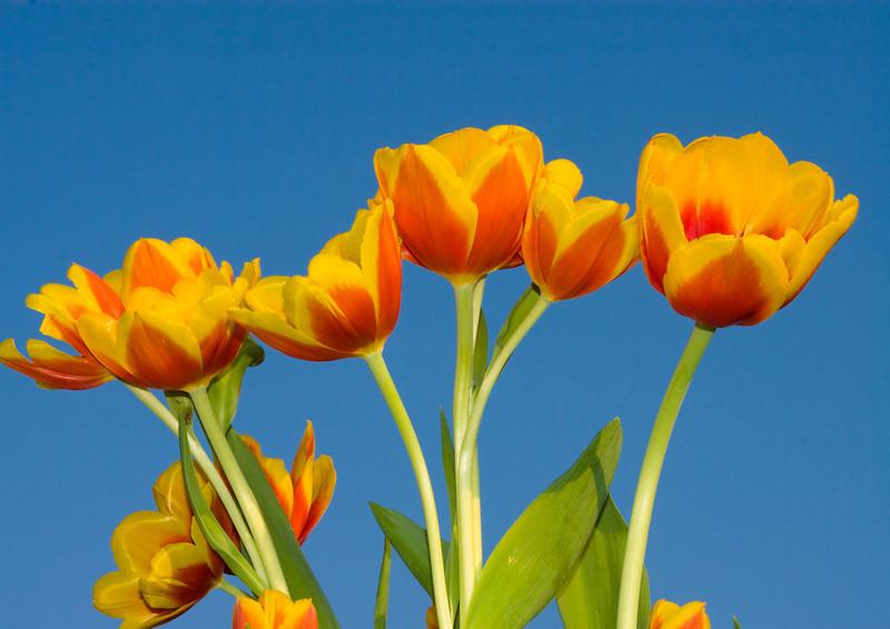 Tulips outdoor_21.jpg