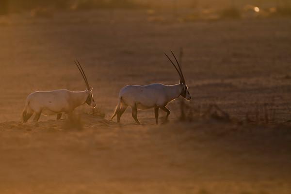 Arabian Oryx - ראם לבן