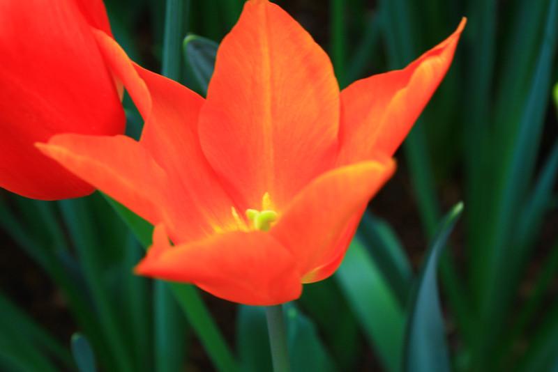 tulips-3082.jpg