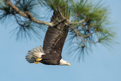 Bald eagle, Kiawah Island