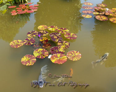 Water Lilies in Italian Pond