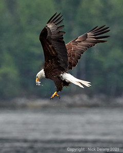 Bald Eagle devouring a hake in flight