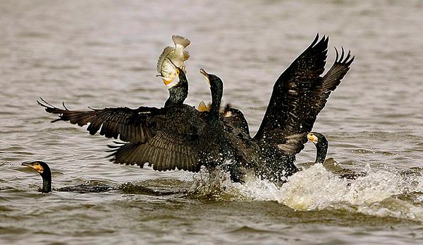 Cormorant -קורמורנים