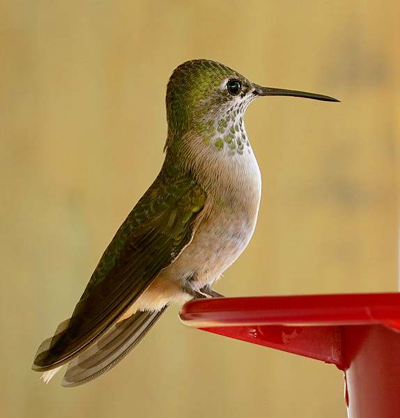 Hummingbird green spots closer.jpg