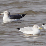 Black-tailed Gull Ring-billed and Bonaparte's Gull