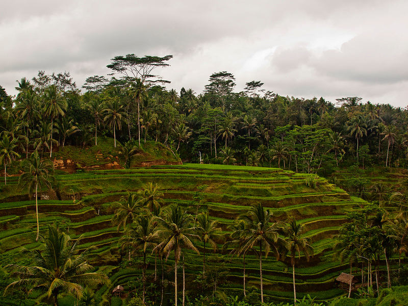 Tegallantang Rice Terrace, Bali