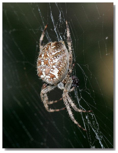 9093 Spider w-ShadowFrame.jpg