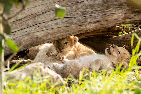 Lioness Rembo and her two week old cubs in Musiara Marsh
