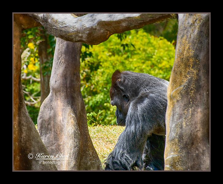 Resting Gorilla sm.jpg