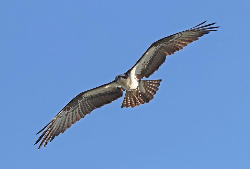 osprey 806.jpg