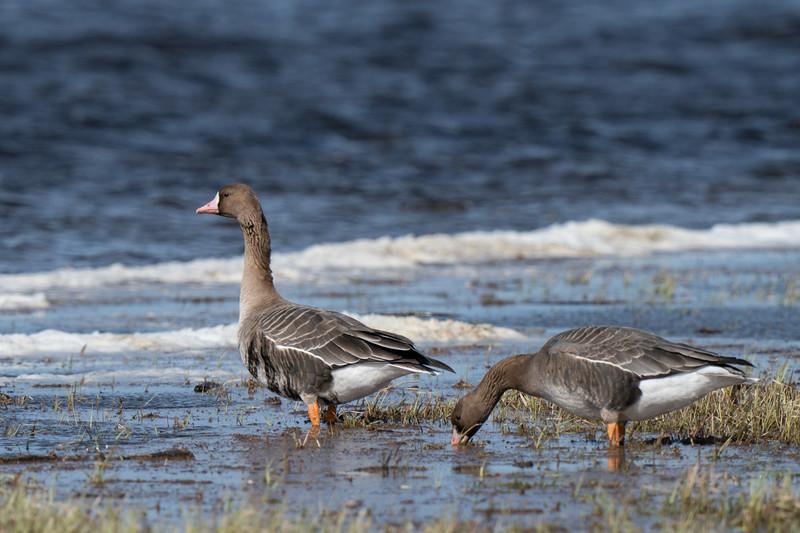 gęś białoczelna   white-fronted goose   anser albifrons