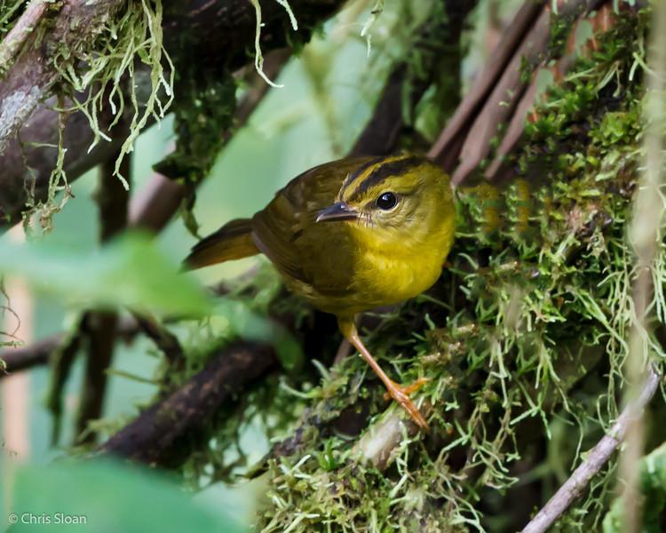 Choco Warbler at Tandayapa Valley, Ecuador (03-04-2014) 027-251-Edit.jpg