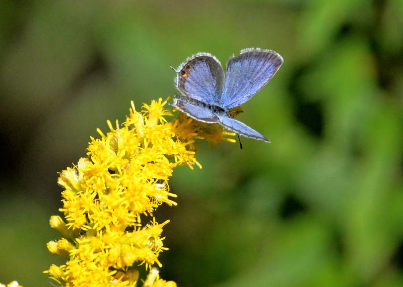 Blue-butterfly-goldenrod.jpg