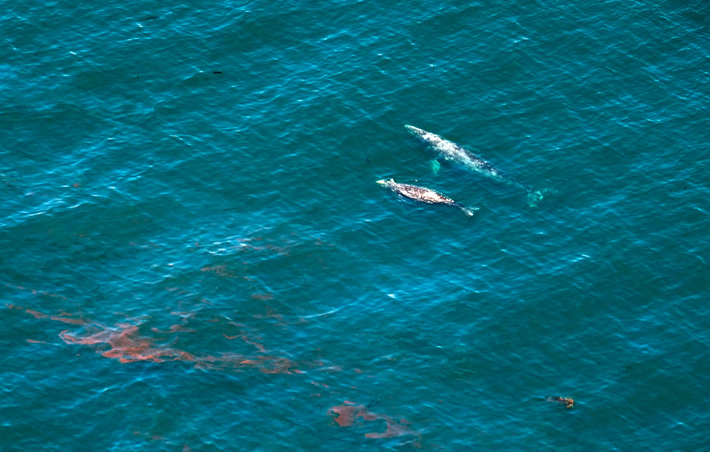 . This photo shows whales along the surface near a sheen of oil north of Goleta, Calif., Wednesday, May 20, 2015. A broken onshore pipeline spewed oil down a storm drain and into the ocean for several hours Tuesday before it was shut off. (AP Photo/Michael A. Mariant)