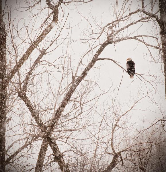 Eagle, December 2010