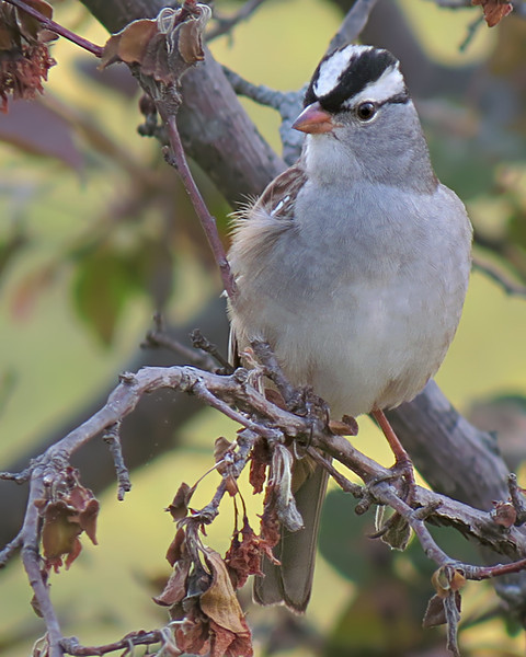 sx50_white_crowned_sparrow_bit_404.jpg