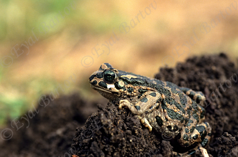 European green toad (Bufo viridis)  קרפדה ירוקה