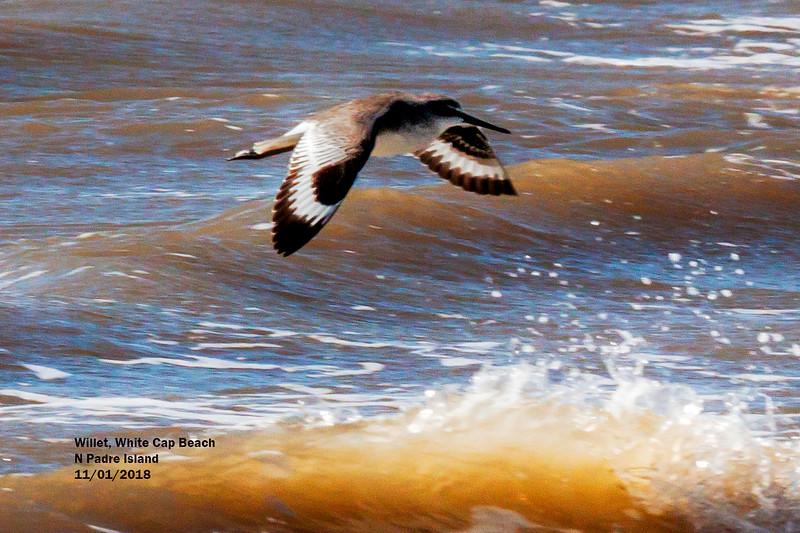 IMG_8639 3T flying Willet N Padre Island.jpg