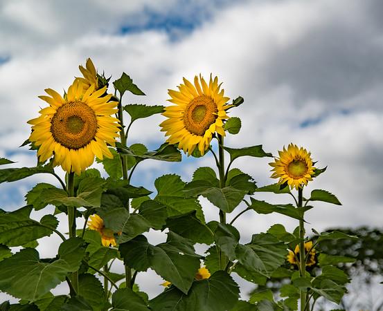Sunflower Field 2017-09-09