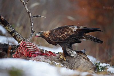 Orły / Eagles