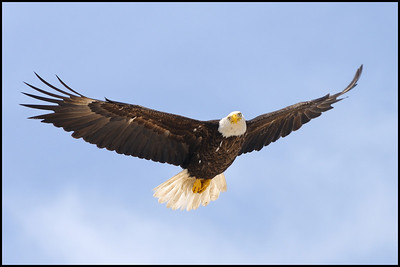 """As this Eagle flew over me, giving me the """"eagle eye,"""" I could hear the air turbulence in it's wings........."""