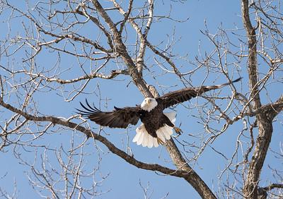 Eagles on the Iowa River