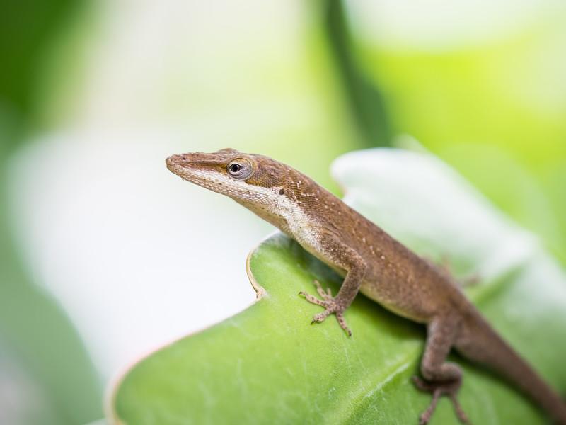 Lizard- Green Anole-6120490.jpg