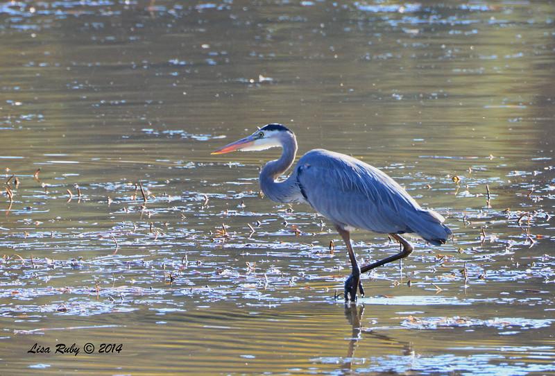 Great Blue Heron - 10/14/2014 - Lake Cuyamaca