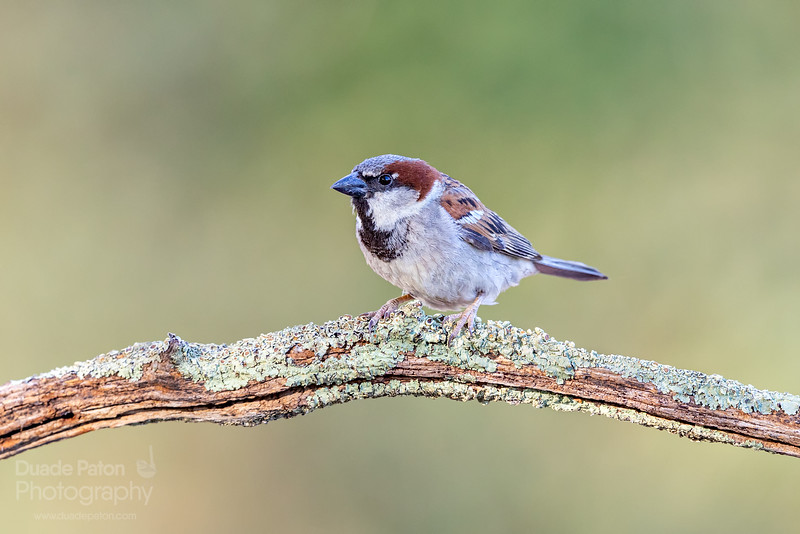 House Sparrow (Introduced)