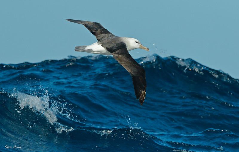Black-browed Albatross 2 MASTER (2).jpg
