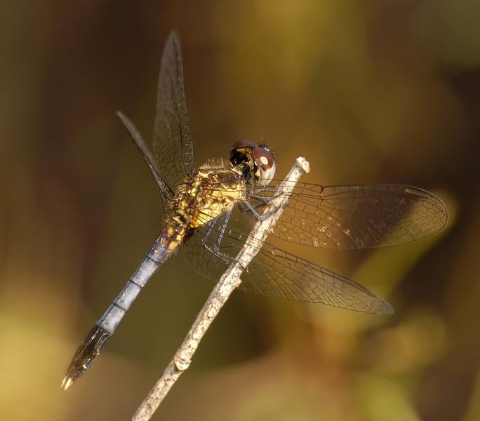 Erythrodiplax miniscula (Little Blue Dragonlet), GA - male