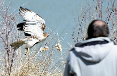 Photos: Hawk Activity at Longmont's McIntosh Lake