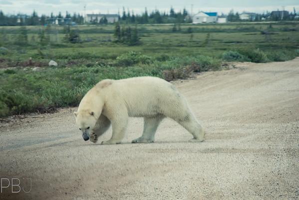 Churchill Canada - Polar Bears