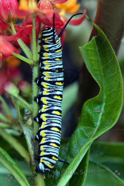Monarch Caterpillar on Milkweed ~ This hungry caterpillar was munching away on the milkweed plant.  The leaf on the right was whole before being topped off for its lunch.  Yum!