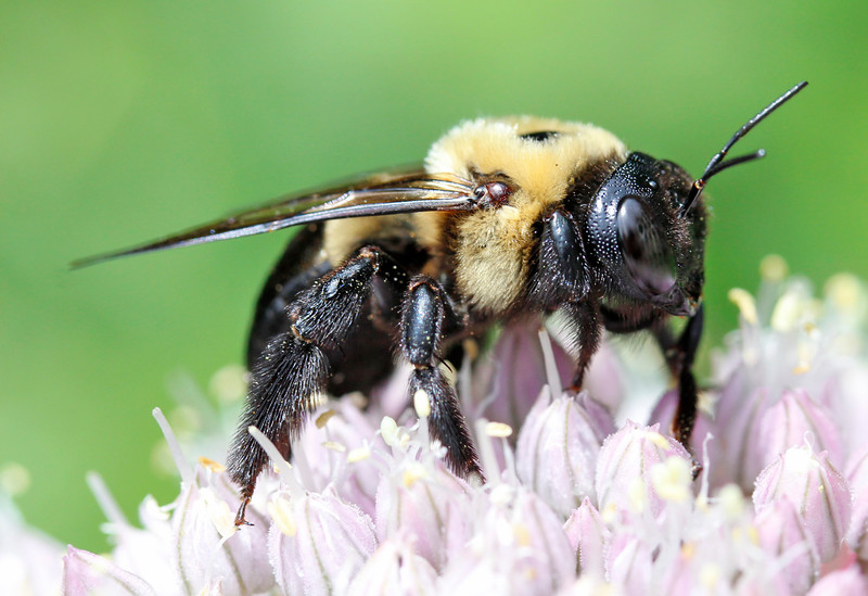 Bumble bee 47