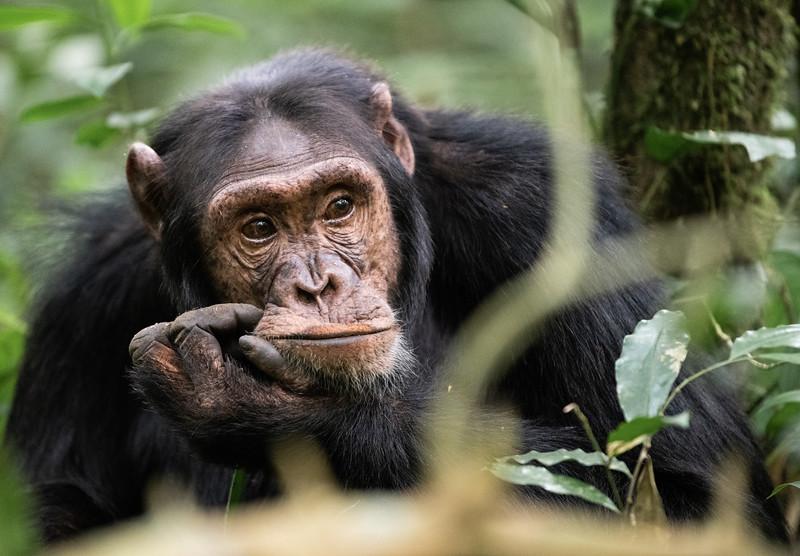 Uganda_T_Chimps-635.jpg