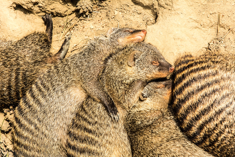 Cuddling Meerkats