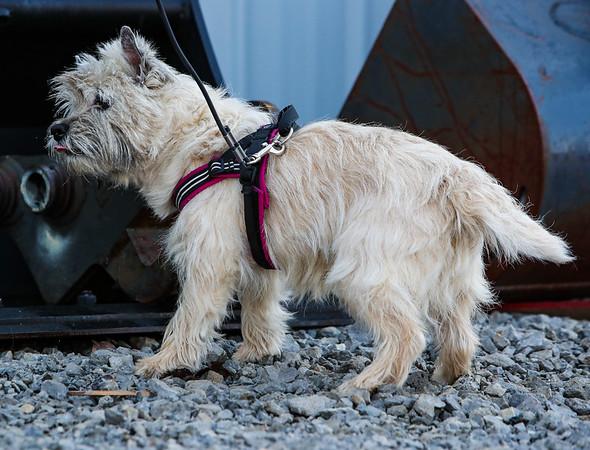 Wheaten Cairn Terrier PP
