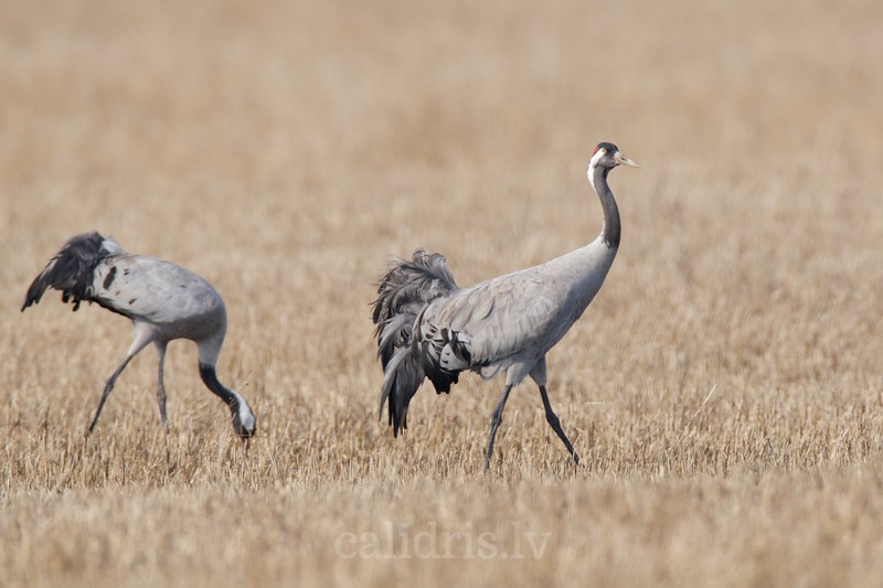 Common Cranes in a field during spring migration