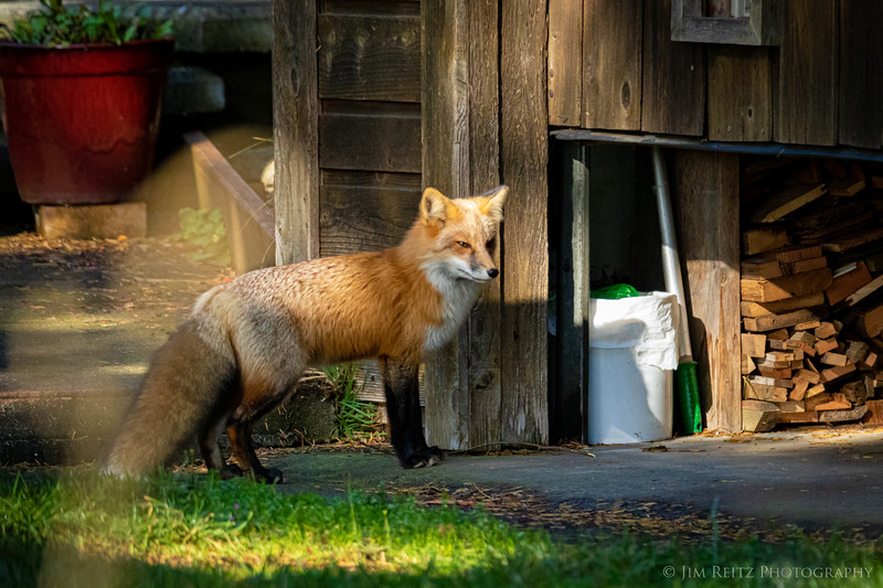 Red fox sneaking into a local garage on San Juan Island, Washington.